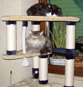 mici mici gatti norvegesi delle foreste e tiragraffi