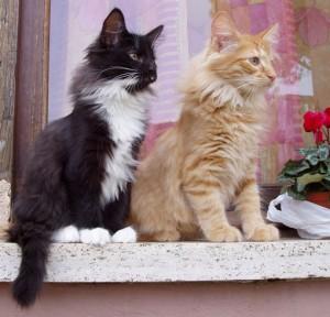 orgoglio di gatti