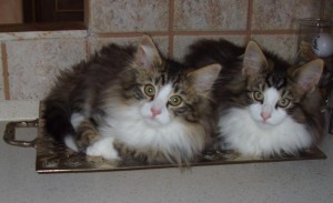 Due gattini sul vassoio