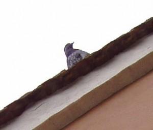 Il piccione impiccione
