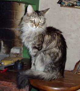 Il mio primo gatto norvegese